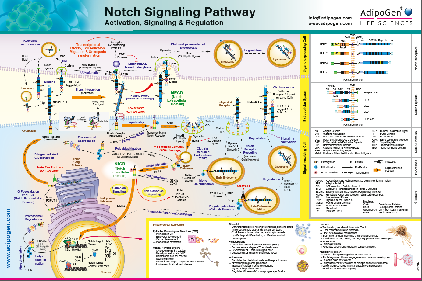 Notch Signaling Pathways Wallchart 2017