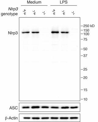 anti-NLRP3/NALP3, mAb antibody (Cryo-2) - Order from Adipogen