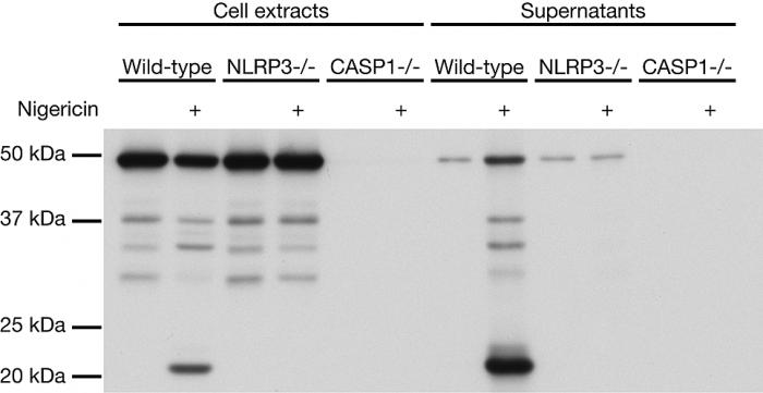 anti-Caspase-1 (p20) (mouse), mAb antibody (Casper-1