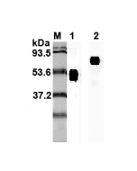 Western blot analysis using anti-IL-23p19 (human), mAb (I 178G) (Prod. No. AG-20A-0027) at 1:2'000 dilution.1: Human IL-23p19 Fc-fusion protein.2: Recombinant human single chain IL-23 (FLAG®-tagged).