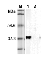 Western blot analysis using anti-TIM-3 (mouse), mAb (TI 339H) (Prod. No. AG-20A-0029) at 1:5'000 dilution.1:  Transfected mouse Tim-3 full length cell lysate (HEK 293).2: Transfected vector only cell lysate.