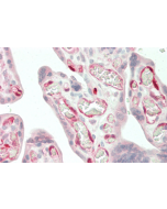 Immunohistochemical staining of IDO using anti-IDO (human), mAb (ID 177) (Prod. No. AG-20A-0035) in human placenta tissue (10µg/ml). This antibody has been tested in immunohistochemistry, analyzed by an anatomic pathologist and validated for u