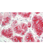 Immunohistochemical staining of DLK1 using anti-DLK1 (human), mAb (PF13-3) (Prod. No. AG-20A-0069) in human adrenal tissue (10µg/ml). This antibody has been tested in immunohistochemistry, analyzed by an anatomic pathologist and validated for