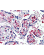 Immunohistochemical staining of DLK1 using anti-DLK1 (human), mAb (PF299-1) (Prod. No. AG-20A-0070) in placenta, villi (1:500 dilution). This antibody has been tested in immunohistochemistry, analyzed by an anatomic pathologist and validated for use