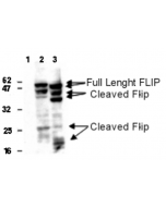 Detection of human and mouse FLIP in 293T cells transfected with a human (lane 2) or mouse FLIPL (lane 3) expression plasmid using anti-FLIP, mAb (Dave-2) (AG-20B-0005). Untransfected cells (lane 1). Top arrows indicate full length FLIP, lower