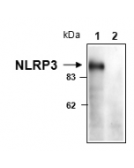 NLRP3 is detected in mouse macrophages using anti-NLRP3/NALP3 (mouse), mAb (Cryo-1) (Prod. No AG-20B-0006). Cell extracts from mouse macrophages, WT (lane 1) or NLRP3 KO (lane 2), were separated by SDS-PAGE under reducing conditions, transferred to
