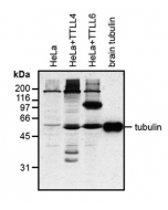 Western blot analysis of protein glutamylation with MAb to polyglutamylation modification (GT335) (Prod. No. AG-20B-0020). Method: HeLa cells grown in standard culture conditions are lysed in SDS sample buffer and run on 10% SDS-PAGE. The pro