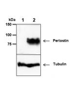 anti-Periostin, mAb (Stiny-1) (preservative free)