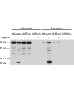 Mouse caspase-1 (p20) is detected by immunoblotting using anti-Caspase-1 (p20) (mouse), mAb (Casper-1) (Prod. No. AG-20B-0042). Method: Caspase-1 was analyzed by Western blot in cell extracts and supernatants of differentiated bone marrow