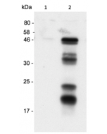 Human Caspase-1 (p20) is detected by immunoblotting using anti-Caspase-1 (p20) (human), mAb (Bally-1) (Prod. No AG-20B-0048-C100). Method: Caspase-1 was analyzed by Western blot in supernatants of THP1 cells differentiated for
