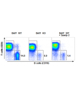 anti-BAFF (mouse), mAb (Sandy-2) (Prod. No. AG-20B-0063) blocks the action of endogenous BAFF in vivo.  Method: Wild type C57BL/6 mice were treated at day 0 (single administration) with monoclonal antibody anti-BAFF (mouse), mAb (Sandy
