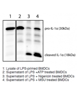 Mouse IL-1α (full-length p30 and cleaved p18 fragments) are detected by immunoblotting using anti-IL-1α (p18) (mouse), mAb (Teo-1) (Prod. No AG-20B-0064). Method: IL-1α was analyzed by Western blot in cell extracts of bone m