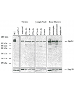 Western blot analysis using anti-Apaf-1 (mouse/rat), MAb (13F11) (AG-20T-0133) on purified cells from mouse tissues. The ~130kDa band corresponds to endogenous Apaf-1, which is absent in cells from Apaf-1 KO mice.