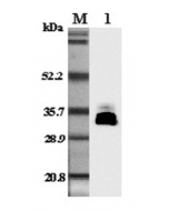 Western blot analysis in mouse plasma using anti-Adiponectin (mouse), pAb (Prod. No. AG-25A-0004) at 1:5'000 dilution.