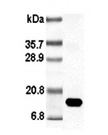 Western blot analysis using anti-Leptin (rat), pAb (Biotin) (Prod. No. AG-25A-0009B) at 1:1'000 dilution.