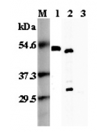 Western blot analysis using anti-FOXP3 (mouse), pAb (Prod. No. AG-25A-0035) at 1:5'000 dilution. 1: Mouse FOXP3 (His-tagged). 2: Transfected mouse FOXP3 cell lysate (HEK 293). 3: Transfected vector only cell lysate.