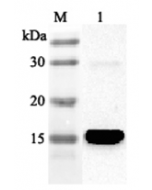 Western blot analysis using anti-FABP4 (human), pAb (Prod. No. AG-25A-0041) at 1:2'000 dilution. 1: Human FABP4 (His-tagged).