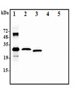 Western blot analysis using anti-IL-37 (human), pAb (Prod. No. AG-25A-0111) at 1:2.000 dilution:1. Recombinant human IL-37-His (50ng)2. Human IL-37-FLAG transfected HEK293 cell lysate(100µg)3. Human IL-37-tag free transfecte