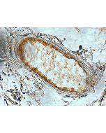 Immunohistochemical staining (paraffin embedded) of human adipose tissue using anti-Adiponectin Receptor 1 (human), pAb (AL238) (Prod. No. AG-25B-0010).