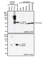 Western blot analysis of protein polyglutamylation by anti-Polyglutamate chain (polyE), pAb (IN105) (Prod. No. AG-25B-0030).Method: HEK-293T cells are grown in standard culture conditions, transfected with plasmids expressing the tubulin glut