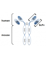 Schematic antibody structure.