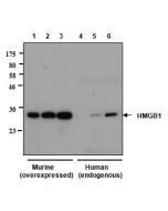 Western blot analysis of human and rat HMGB1 using anti-HMGB1, mAb (rec.) (GIBY-1-4) (Prod. No. AG-27B-0002) Different amounts of cell extracts from HEK293T cells (3μg, 5μg and 30μg) either transfected with a plasmid coding for rat HMGB1 (l