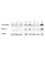 ERK and FRS2α phosphorylation induced by FGF-21 in Klotho expressing cells. Klotho expressing HEK 293EBNA cells were serum starved for 16hr and then stimulated with hFGF-23-His, FGF-23-Fc (Prod. No. AG-40A-0109), mCD137-Fc (Fc control) and FGF