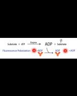Transcreener® ADP2 FP Assay