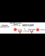 Transcreener® AMP2/GMP2 FP Assay
