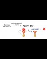 Transcreener® AMP2/GMP2 TR-FRET Assay