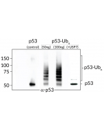 Ubiquitinated-p53 Western Blot: From left to right: Control His6-p53 (50ng), ubiquitinated-p53 (50ng and 100ng) and ubiquitinated-p53 digested with USP7 (50ng).
