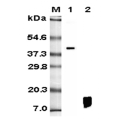 Western blot analysis using anti-RELM-β (human), mAb (HRB 149) (Prod. No. AG-20A-0012) at 1:5'000 dilution.1: Human RELM-β Fc-fusion protein.2: Recombinant human RELM-β protein.