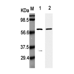 Western Blot analysis using anti-Listeria monocytogenes, mAb (P6007) (Prod. No. AG-20A-0022) at 1:5000 dilution.1: Recombinant L. monocytogenes p60. 2: Culture media of L. monocytogenes.