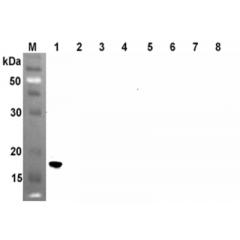 Western blot analysis using anti-ANGPTL4 (CCD) (human), mAb (Kairos4-153AD) (Prod. No. AG-20A-0046) at 1:500 dilution.1: Human ANGPTL4 (CCD) (FLAG®-tagged).2: Human ANGPTL4 (FLD) (FLAG®-tagged).3: Human ANGPTL4 (FLA