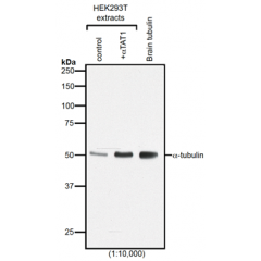 Western blot analysis of protein acetylation with anti-α-Tubulin (acetylated), mAb (TEU318) (Prod. No. AG-20B-0068).Method: HEK-293T cells grown in standard culture conditions, transfected with plasmids expressing the tubulin acetyl tra