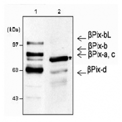 Western blot analysis using anti-β-Pix (mouse), pAb (Prod. No. AG-25A-0006). 1: Mouse brain lysates (30μg). 2: NIH3T3 whole cell lysates (30μg).  * β-Pix is a major isoform in NIH3T3 lysates, while other β-Pix