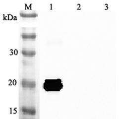 Western blot analysis using anti-IL-33 (mouse), pAb (Prod. No. AG-25A-0047) at 1:2'000 dilution. 1: Mouse IL-33 (His-tagged). 2: Human IL-33 (His-tagged). 3: Unrelated protein (His-tagged) (negative control).