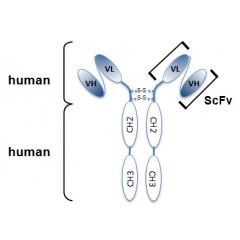 anti-IL-33 (mouse), mAb (rec.) (Carly-1-4)