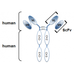 Schematic antibody structure of the recombinant antibody anti-Netrin-1 (human), mAb (rec.) (H4) (Prod. No. AG-27B-0020PF). The single chain variable human fragment (ScFv) selected by antibody phage display technology and specific to the antigen of interes