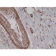 Immunohistochemical staining of formalin fixed and paraffin embedded human heart tissue sections using Anti-alpha smooth muscle Actin RM253 at a 1:2500 dilution.
