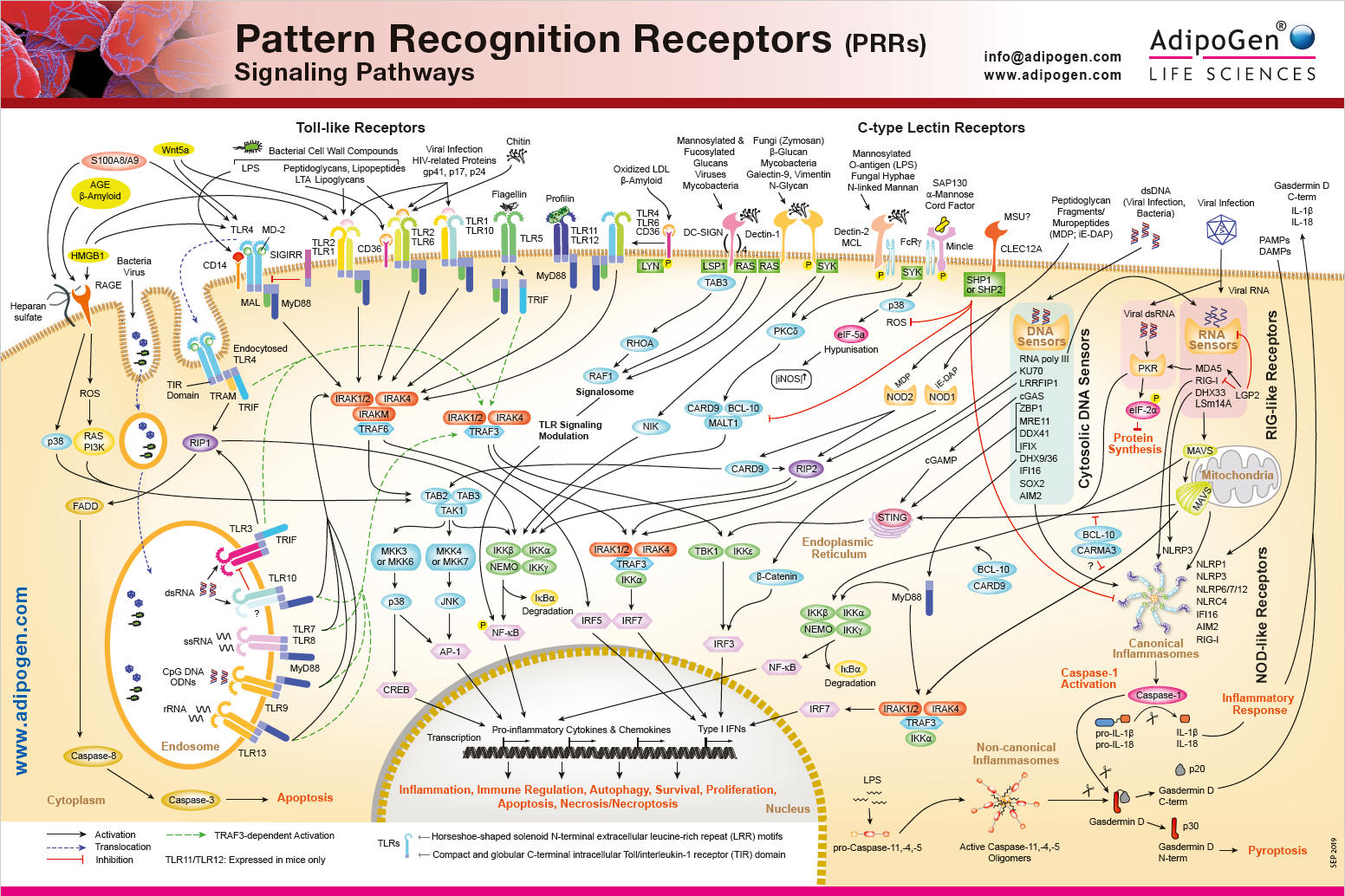 Pattern Recognition Receptors Signaling Wallchart 2019