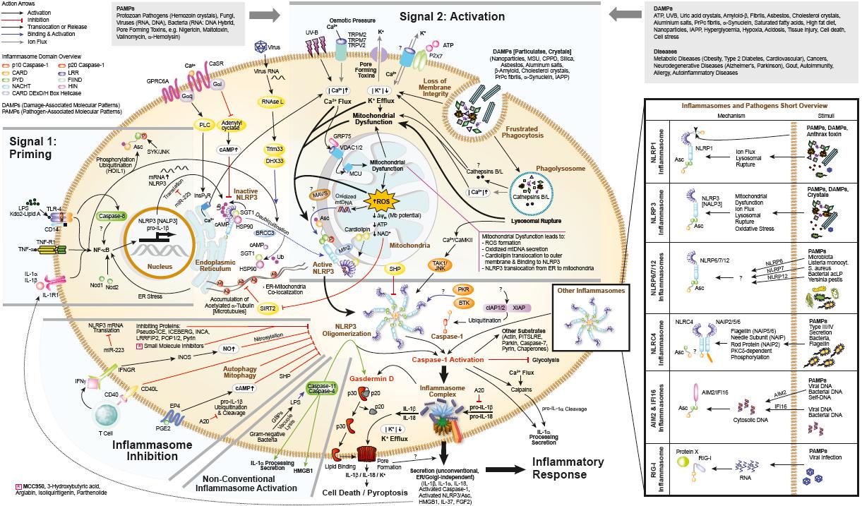 NLRP3 Inflammasomes Signaling