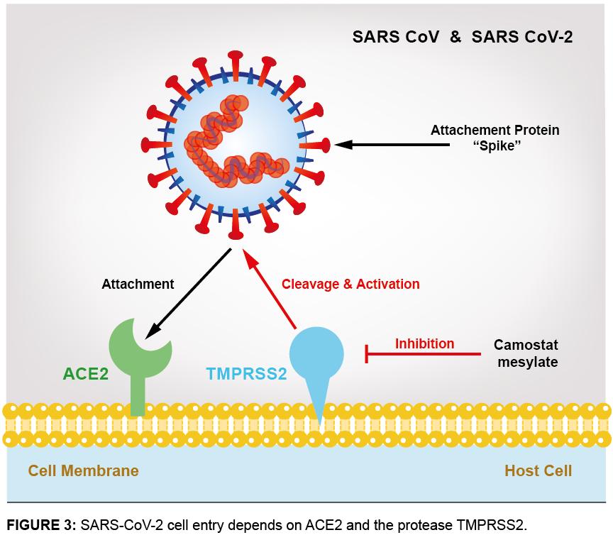 ACE2 - Receptor of SARS-CoV-2