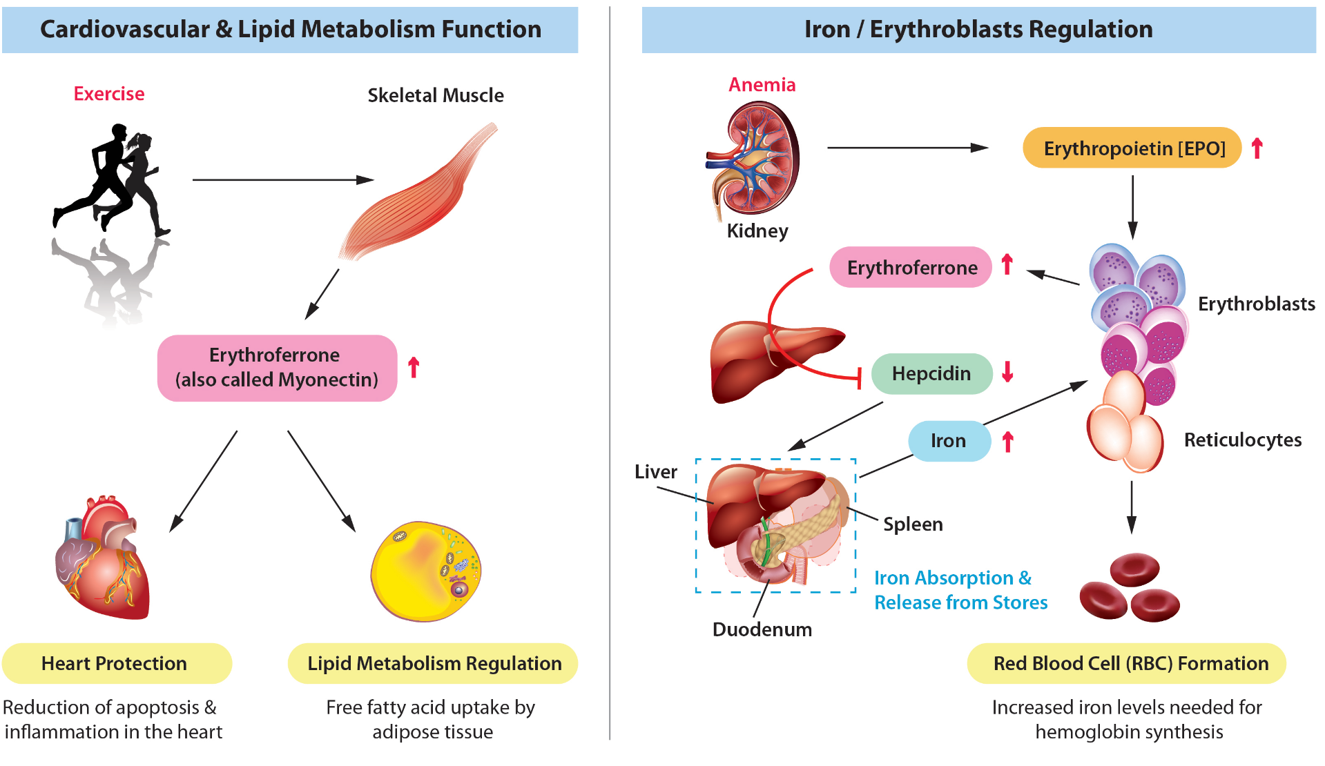 Erythroferrone Overview