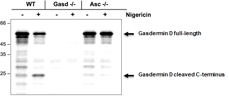 anti-Gasdermin D (mouse), pAb (IN110)