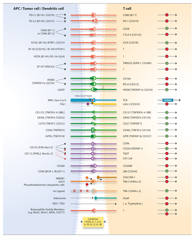 T Cell Immune Checkpoints