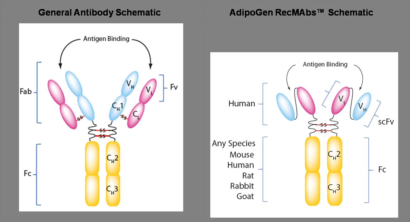 Antibody Schematics
