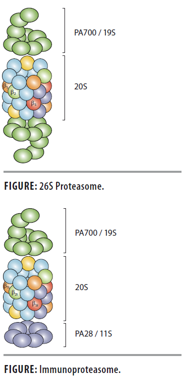 Proteasome and Immunoproteasome Structure